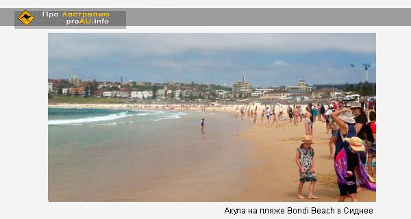 Акула на пляже Bondi Beach в Сиднее