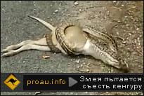 Змея пытается съесть кенгуру