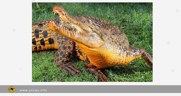 Уникальный оранжевый крокодил (фото, видео). Животный мир Австралии