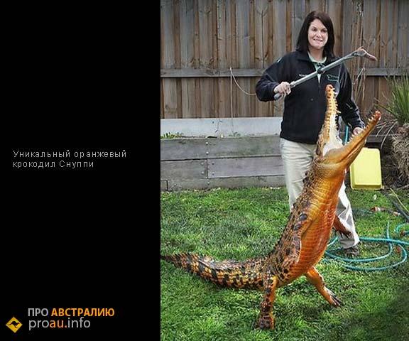 Животный мир Австралии. Уникальный оранжевый крокодил
