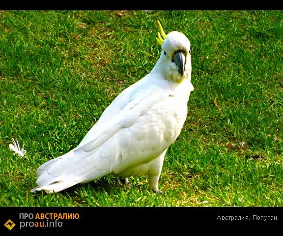 Австралия, попугаи