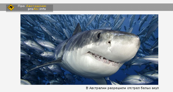 В Австралии разрешили отстрел белых акул