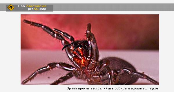 Врачи просят австралийцев собирать ядовитых пауков
