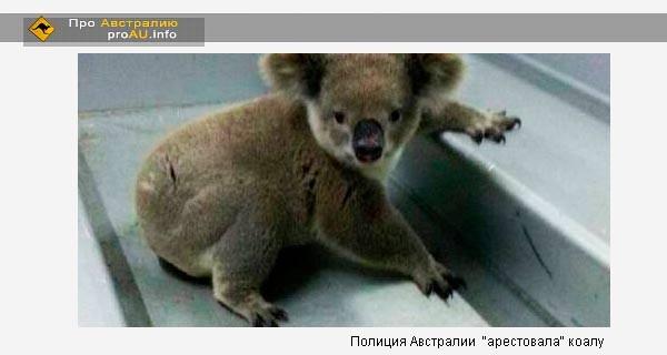 Полиция Австралии  «арестовала» коалу