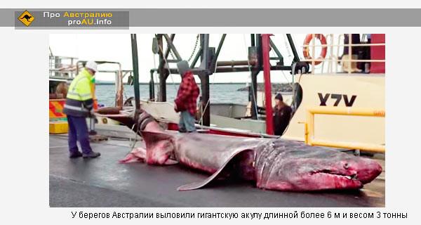 У берегов Австралии выловили гигантскую акулу длинной более 6 м и весом 3 тонны