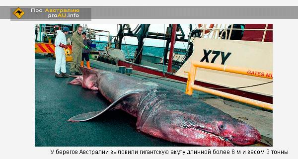 Гигантская акула / Cetorhinus maximus