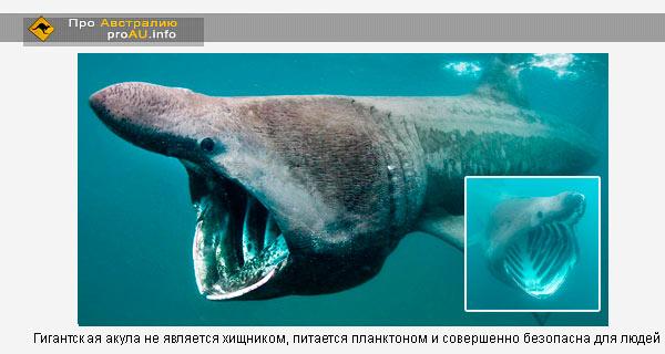Гигантская акула не является хищником, питается планктоном и совершенно безопасна для людей