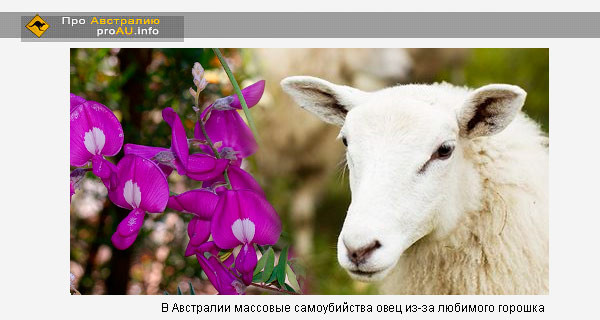 В Австралии массовые самоубийства овец из-за любимого горошка