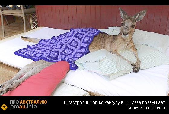 В Австралии кенгуру больше , чем людей