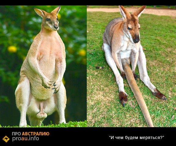 Самец кенгуру может заниматься сексом 5 раз в день
